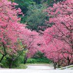 日本で一番早い桜まつりを沖縄で楽しもう