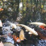 五色沼の見どころ 自然探勝路とハートの鯉