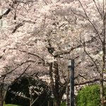 大阪造幣局 桜の通り抜けの愉しみ方とアクセス