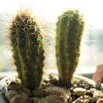 水やりだけで育つは間違い!サボテンの正しい育て方は?種から育てられる?