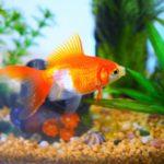 金魚が見えない!水槽の汚れをとるとっておきの方法!